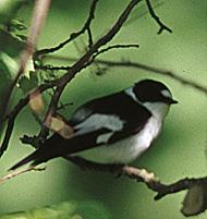Collared flycatcher.