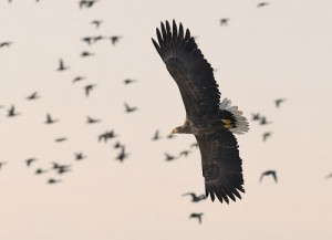White-tailed eagle. Find the huge eagles on a tour. Photo: Josef Andersson.