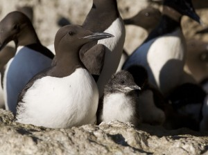 Guillemot with chick. Photo: Aron Hejdström.