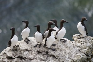 Guillemot (Uria aalge). Photo: Aron Hejdström.
