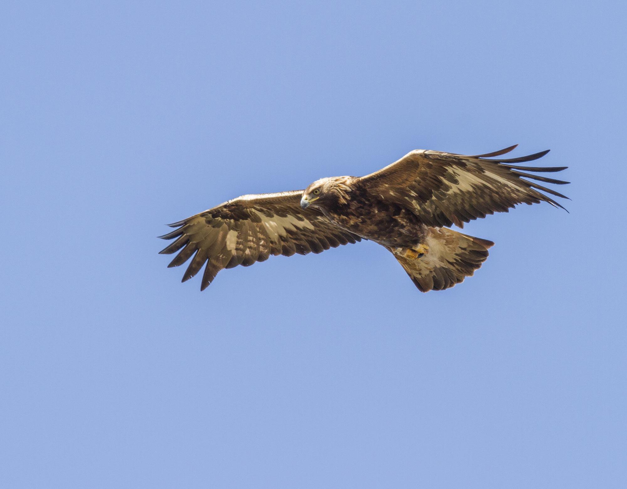 Eagle Safari: Golden Eagle - Aquila chrysaetos. Photo: Torsten Green Petersen.