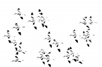 Avocets – Torsten Green-Petersen
