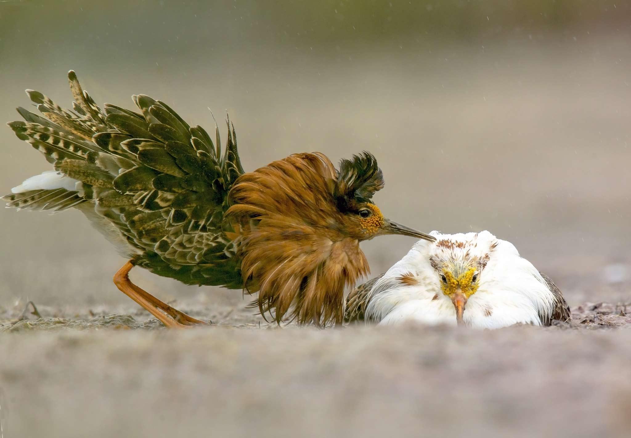 Ruffs, Philomachus pugnax. Photo: Torsten Green-Petersen.