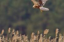 Marsh Harrier – Tomas Lundquist