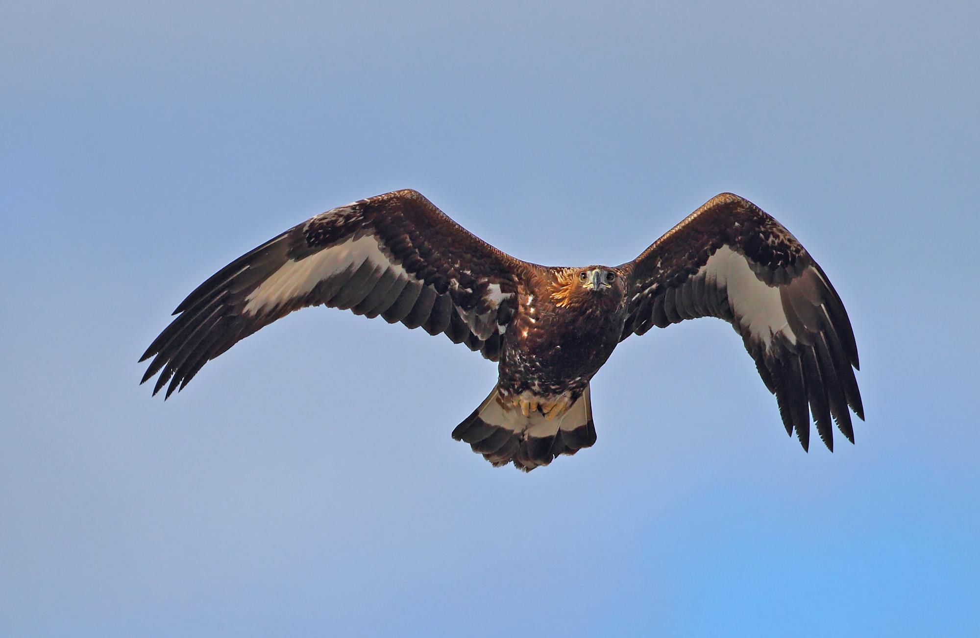 Ung kungsörn, Aquila chrysaetos. Foto: Tomas Lundquist.