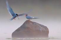 Fisktärnor – Tomas Lundquist