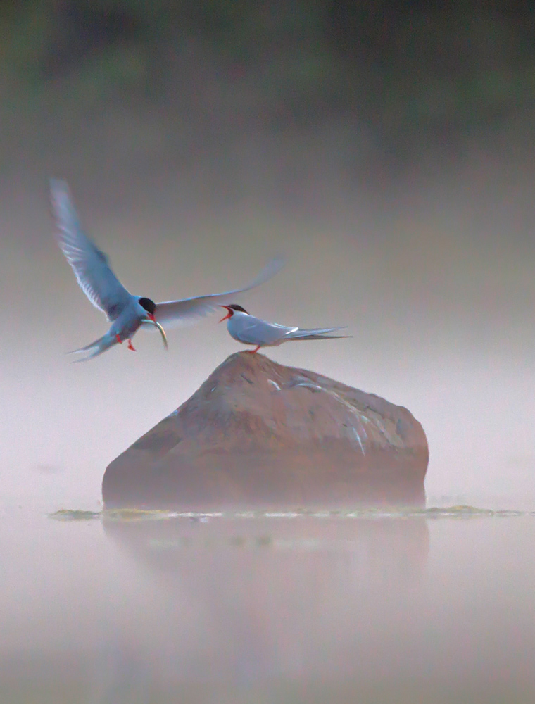 Fisktärnor, Sterna hirundo. Foto: Tomas Lundquist.