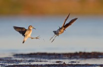 Wood Sandpipers – Tomas Lundquist