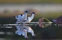 Avocets – Tomas Lundquist
