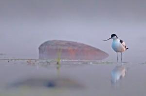Skärfläcka, Recurvirostra avosetta. Foto: Tomas Lundquist.