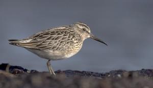 Myrsnäppa (Calidris falcinellus). Foto: Torsten Green-Petersen. Möjlig att se på fågelfotokursen.