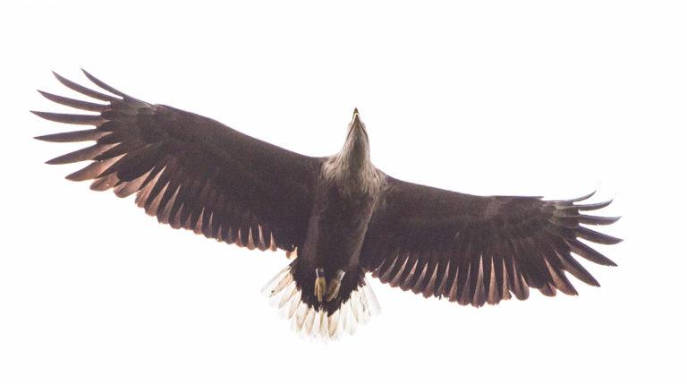 Eagle Safari: White-Tailed Eagle (Haliaeetus albicilla).