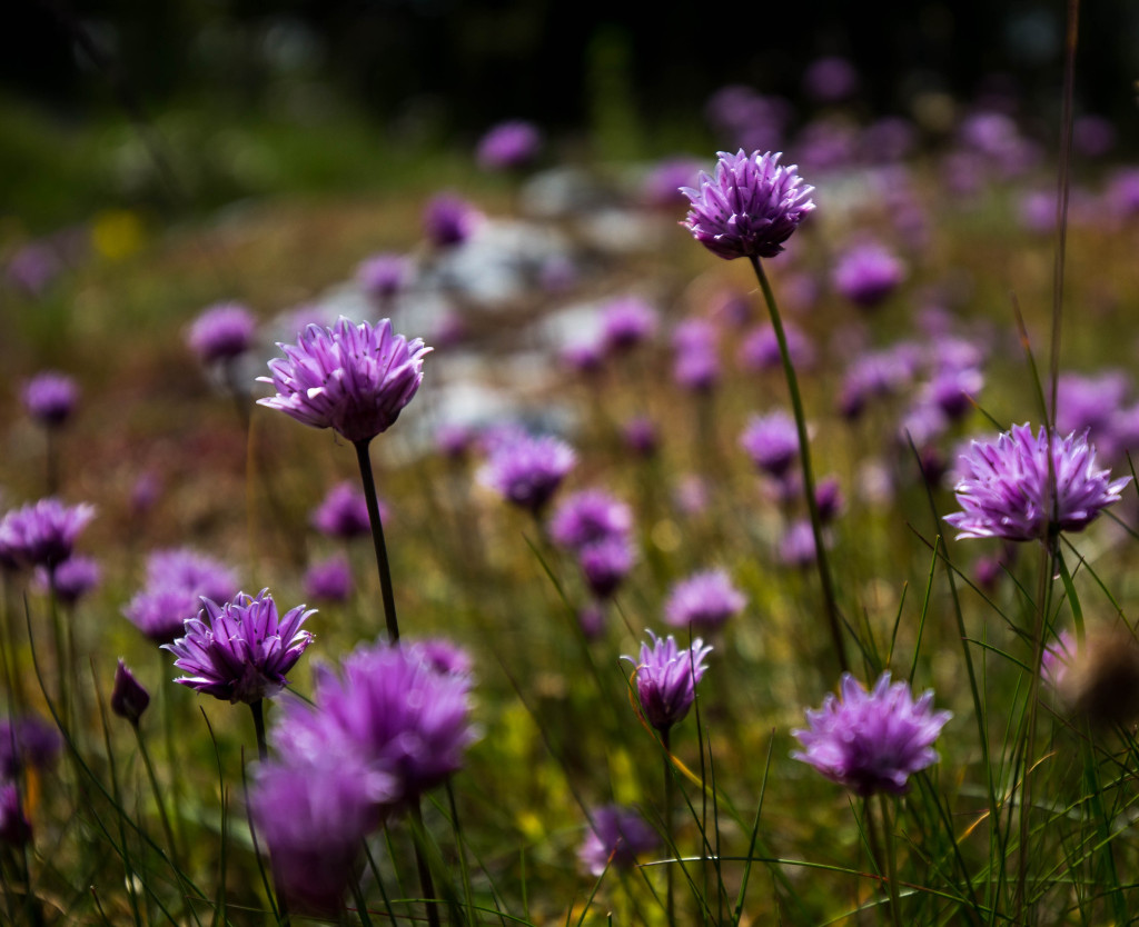 Botanikvecka på Gotland - Gräslök (Allium schoenoprasum), Chives. Foto: Jim Sundberg/GotlandNature
