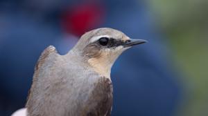Stenskvätta, (Oenanthe oenanthe). Ringmärkt vid Hoburgens fågelstation.