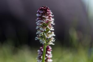 Orchid Safari - Burnt-tip Orchid (Neotinea ustulata).