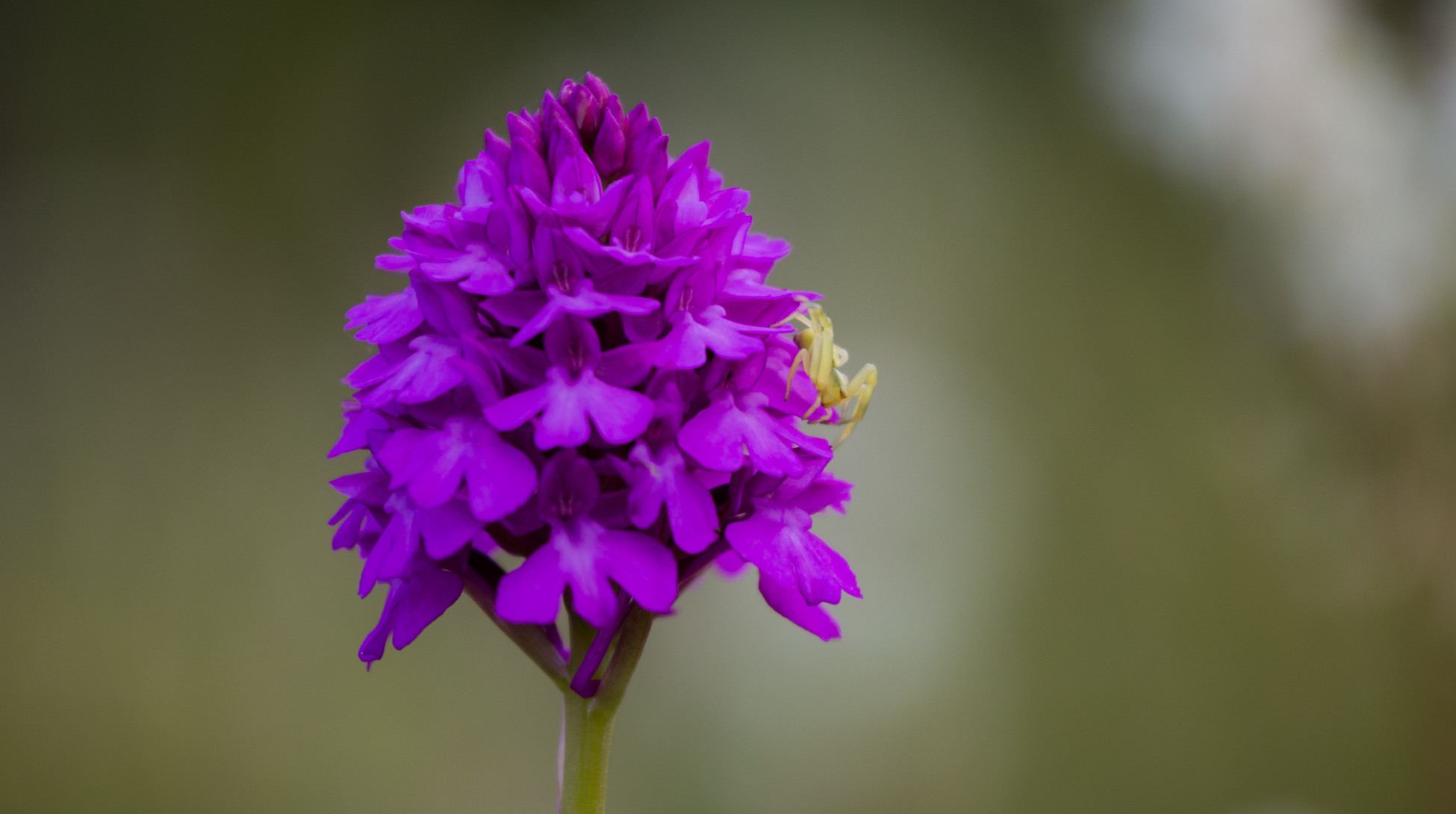 Orkidésafari: Salepsrot, (Anacamptis pyramidalis).