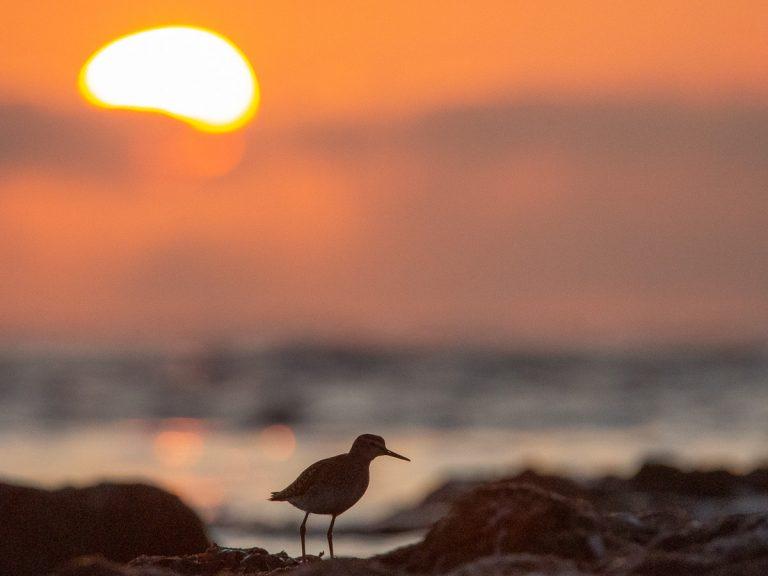 Vakna med fåglar: Grönbena (Tringa glareola). Foto: Jim Sundberg/GotlandNature. Denna upplevelse har fokus på fågelsång.