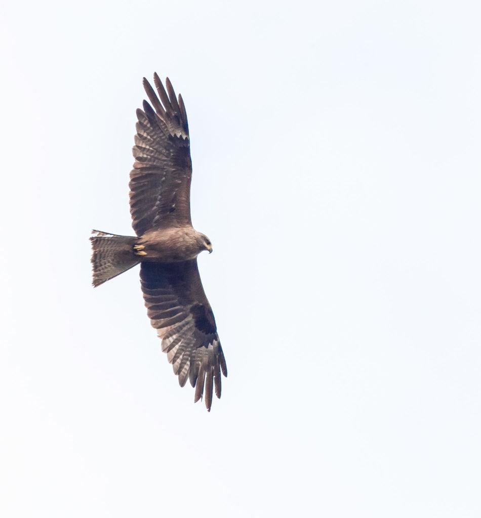 Så mycket fågel - Rovfågelkurs. Brun glada. Foto: Torsten Green-Petersen.