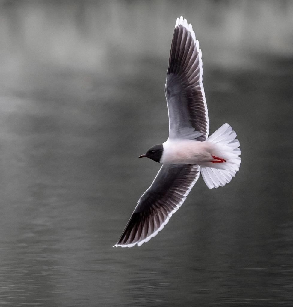 Birdwatching for beginners: Litte gull. Photo: Torsten Green-Petersen.