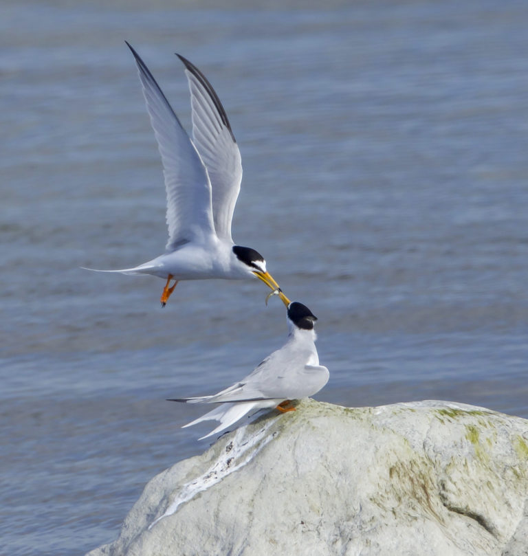 Birdwatching for beginners:  Little tern (Sternula albifrons). Photo: Fredrik Ström.