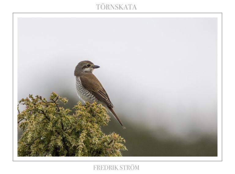 Wake up to birdsong: Red-backed shrike. Photo: Fredrik Ström.