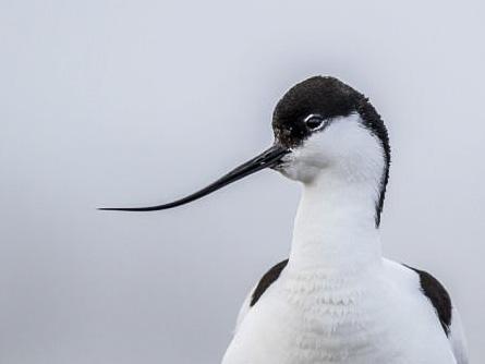Fågelvecka i maj: Skärfläcka. Foto: Torsten Green-Petersen.