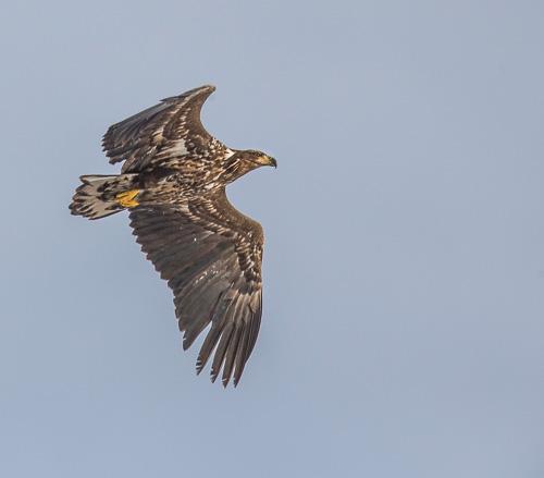 Så mycket fågel - rovfågelkurs. Foto: Torsten Green-Petersen.