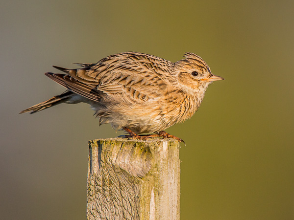 Coronafri fågelkurs. Sånglärka (Alauda arvensis). Skylark. Foto: Torsten Green-Petersen.