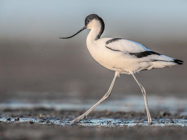 Skärfläcka (Recurvirostra avosetta). Avocet. Foto: Torsten Green-Petersen.
