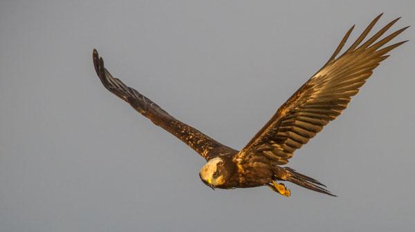 Så mycket fågel - Brun kärrhök. Foto: Torsten Green-Petersen