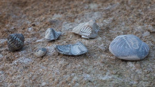 Fossilsafari: olika typer av trilobiter som du kan hitta på Gotland. Foto: Jim Sundberg/GotlandNature.