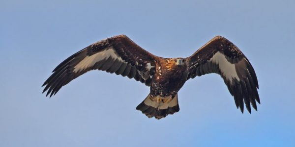 Så mycket fågel: Ung kungsörn, Aquila chrysaetos. Foto: Tomas Lundquist.